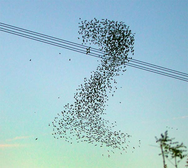 Starlings Form Large Number