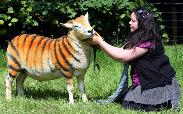 Tiger Sheep
