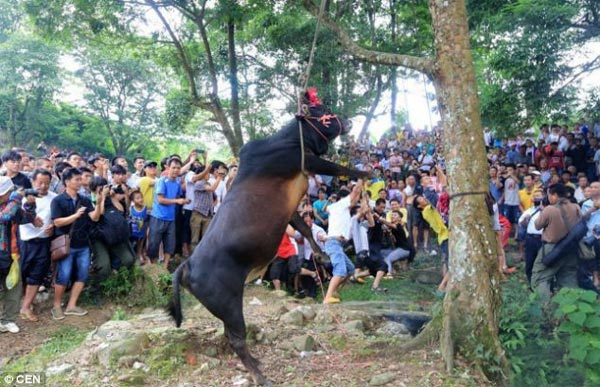 Bull Hanging Ritual in China