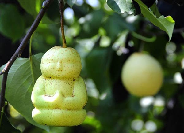 Baby Buddha-Shaped Pears