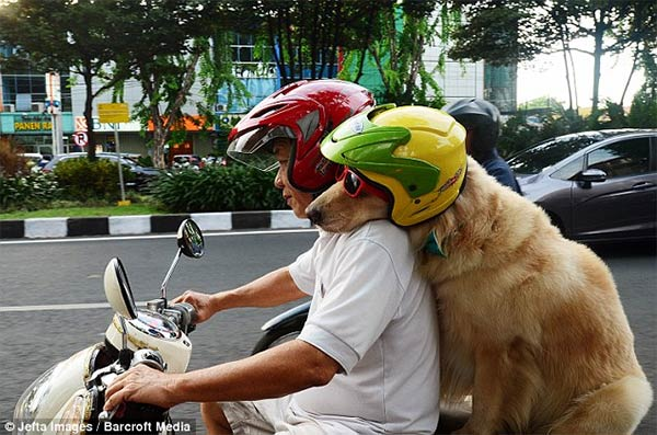 Pet Dogs Ride Motorcycle with Owner in Indonesia