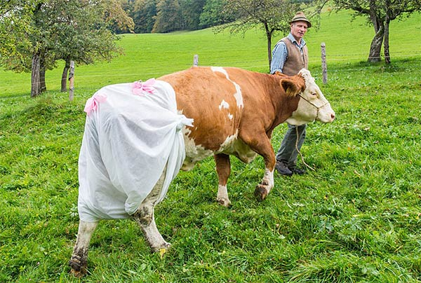 Nappy-Wearing Cows in Germany