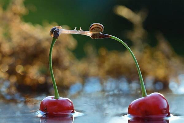 Snails Kissing on Cherries