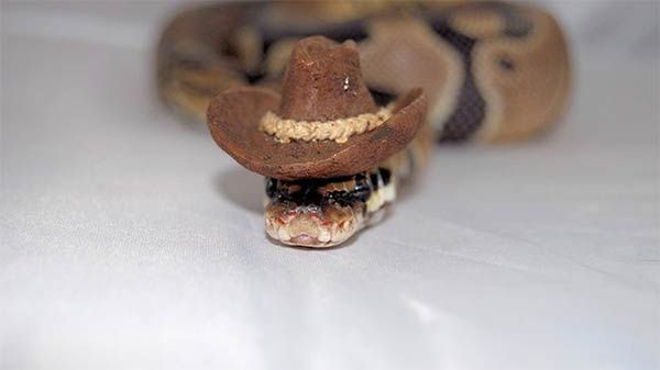 Snakes in Tiny Hats