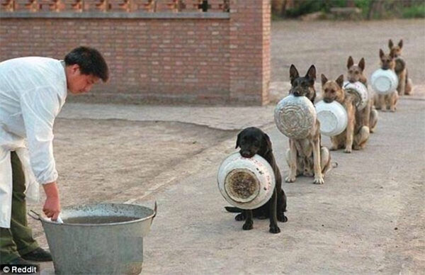 Chinese Police Dogs Form A Perfect Line While Waiting For Their Food