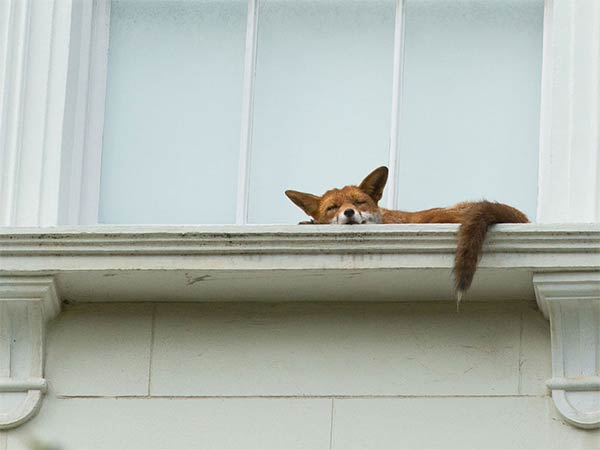 Fox Climbs Up To First Floor Balcony In Notting Hill