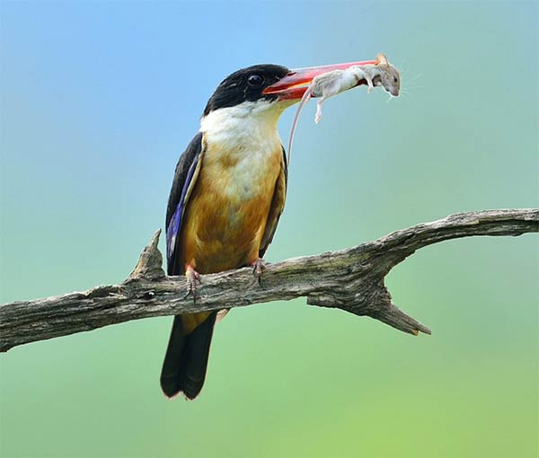Kingfisher Caught a Mouse