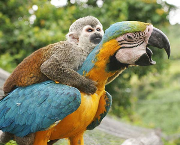 Lazy Monkey Riding on The Back of Macaw