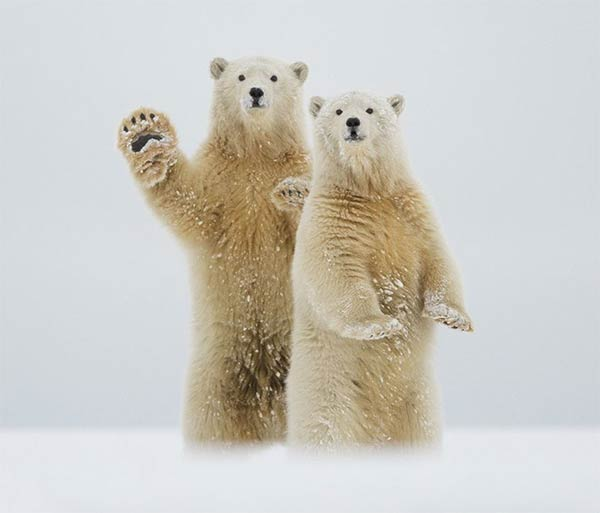 Polar Bears Waving