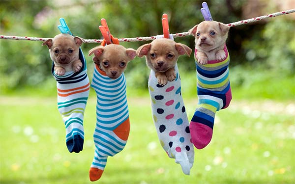 Puppies Hanging From Socks