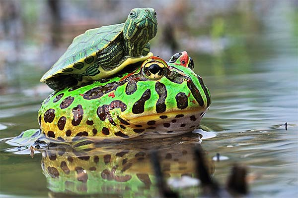 Turtle Riding Frog