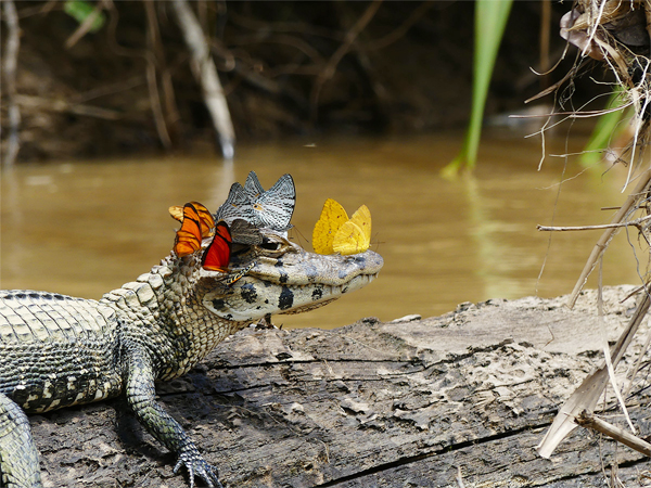Caiman Wearing Crown of Butterflies