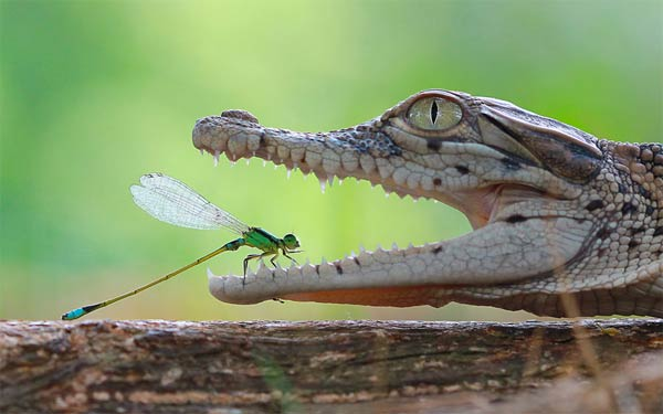 Damselfly Rests Inside Crocodile's Open Jaws