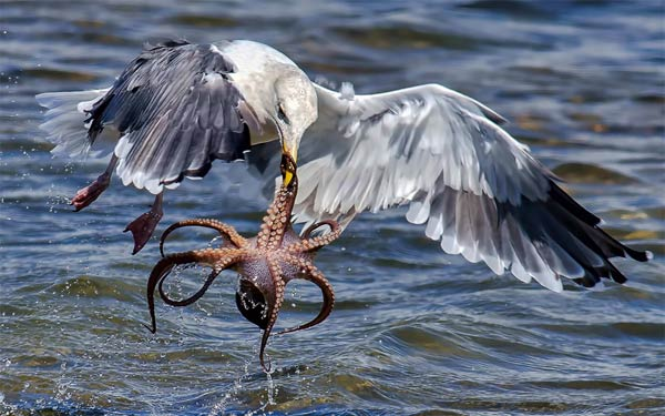 Hungry Gull Taking Challenge of Catching & Killing Octopus