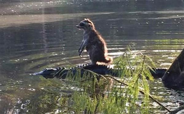 Raccoon Riding Alligator