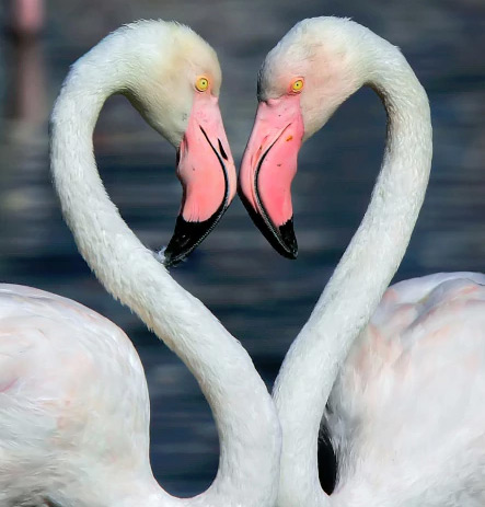 Flamingos Create Heart Shape