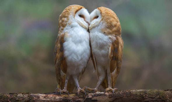 Adorable Moment Two Barn Owls Pucker Up For The Camera