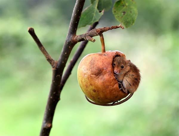 Genius mouse sleeps inside half-eaten apple