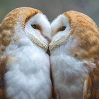 Adorable Moment Two Barn Owls Kisses In Front of Camera