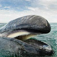 Majestic Whales Photography By Christopher Swann