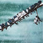 Two Dozen Birds Sitting Tight On A Single Branch