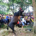 Live Bull Hanging Ritual in China Brings a Bumper Harvest
