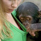 The two-year-old primate cast his eyes towards the keeper's cleavage after using his index finger to peel away her green t-shirt. Photographer Cyril Ruoso captured the saucy moment at...