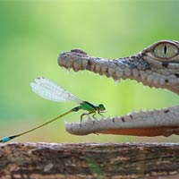 Daring Damselfly Rests In Crocodile's Open Jaw