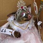 Best-Dressed Dead Possum Competition