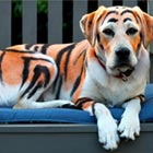 Owner Dyed His Labrador To Look Like a Tiger