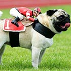 Pug Dog Wears A Rider Figure