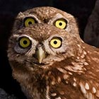 At first glance it looks like this owl has two pairs of eyes… But in fact one of his cheeky pals crept into the shot and peeped over his...