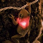 Frog Eats Christmas Light Gets Illuminated