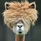 Alpacas with Funny Hair Styles