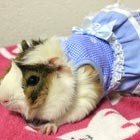 "Maki Yamada, former web designer from Japan, has introduced a new online shop ""pet-a-porter"" where owners can buy their pampered pets' outfits ranging from the comical to the glamorous;..."
