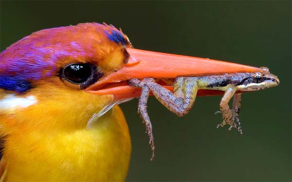 Kingfisher Caught Frog In Peak