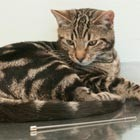 Alphie the kitten is lucky to be alive after swallowing a six-inch TV aerial. He had to undergo emergency surgery after he swallowed a metal digital antenna. Vets at...