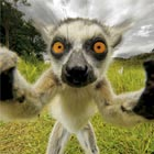Limelight-Loving Lemur Takes 'Selfie'