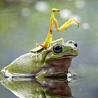 Praying Mantis Riding Frog To Cross The Pond