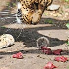 A mouse steals food from under the nose of a leopard at the Santago Rare Leopard Project in Hertfordshire. Photograph by CASEY GUTTERIDGE / SOLENT
