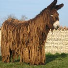 The Poitou donkey or Poitous ass or simply the Poitou is one of the largest and most distinctive breed of donkey originating in the Poitou region of France. It...