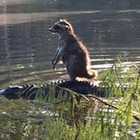 Brave Raccoon Hitches A Ride On An Alligator