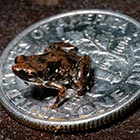 The smallest vertebrate on Earth – a frog just a quarter of an inch long – has been discovered by scientists. The tiny frog has been named Paedophryne amauensis...