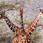 Three-Headed Giraffe