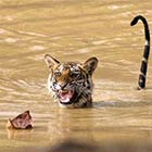 Scaredy Cat Tiger Frightened By A Floating Leaf