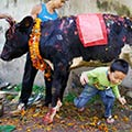 Another Bizarre Ritual of Crawling Under A Cow During Diwali Festival In Nepal
