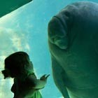 Toddler Gazes at a Manatee