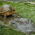Lazy Turtle Riding Alligator To Cross The Pond