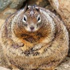 World's Fattest Squirrel?