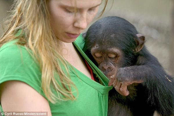 Curious Chimpanzee Peeks Down His Keeper's T-shirt